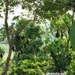 Flughunde schlafen in den Bäumen