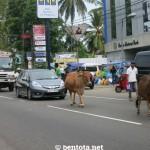 Kühe auf der Straße in Aluthgama