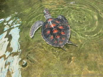 Sea Turtle Farm in Bentota
