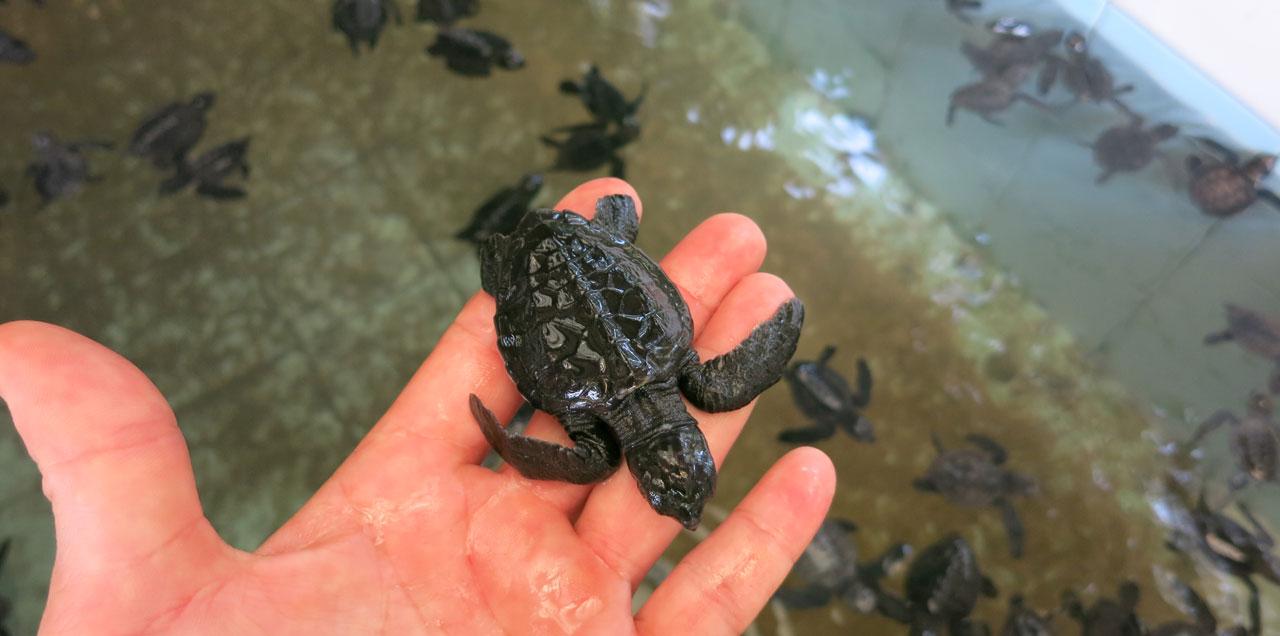 Schildkröten Bentota